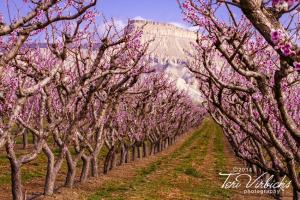 Spring Has Sprung in the Colorado Orchards